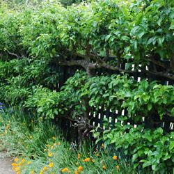 pagar tanaman jelita